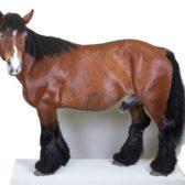 Naturalisation de cheval de trait ardennais
