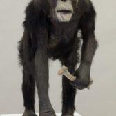 Naturalisation de chimpanzé